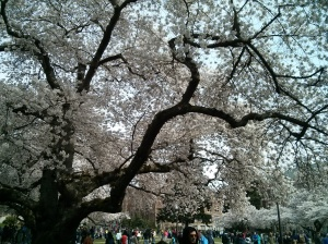 UDub-Cherry-Blossoms